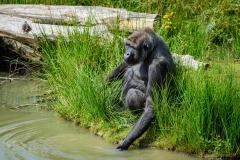 Gorillas_2019-08-21-1