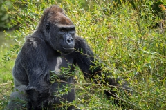 Gorillas_2019-08-21-10