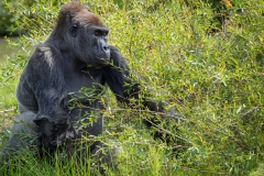 Gorillas_2019-08-21-11