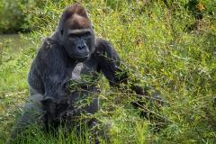 Gorillas_2019-08-21-12