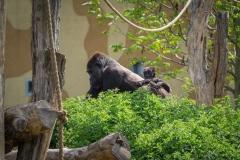 Gorillas_2019-08-21-13