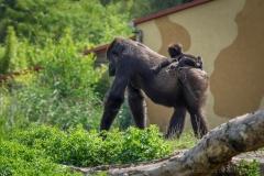 Gorillas_2019-08-21-14