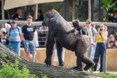 Gorillas_2019-08-21-17