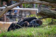Gorillas_2019-08-21-18