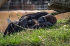 Gorillas_2019-08-21-19