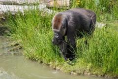 Gorillas_2019-08-21-2