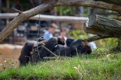 Gorillas_2019-08-21-20