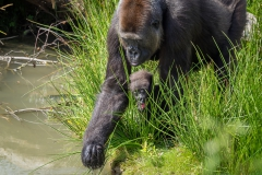 Gorillas_2019-08-21-3