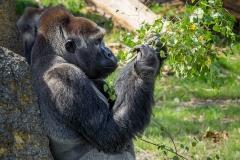 Gorillas_2019-08-21-4