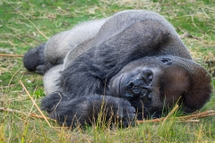 Gorillas_2019-08-21-6