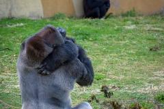 Gorillas_2019-08-21-7