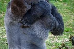 Gorillas_2019-08-21-8