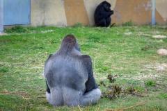 Gorillas_2019-08-21-9