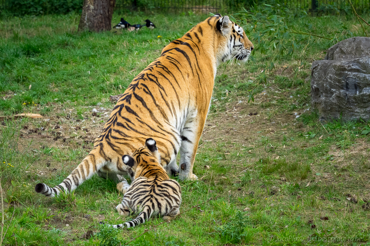 2019-09-03_tijgers-34