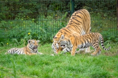 2019-09-03_tijgers-10