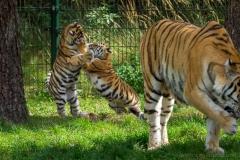 2019-09-03_tijgers-25