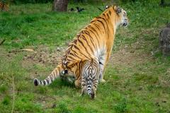2019-09-03_tijgers-32