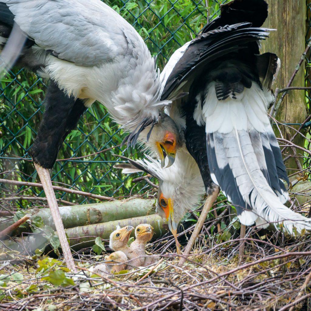 Secretarisvogels uit ei gekropen